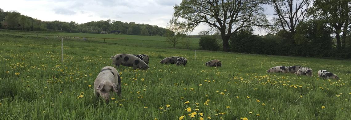 Schweine 10
