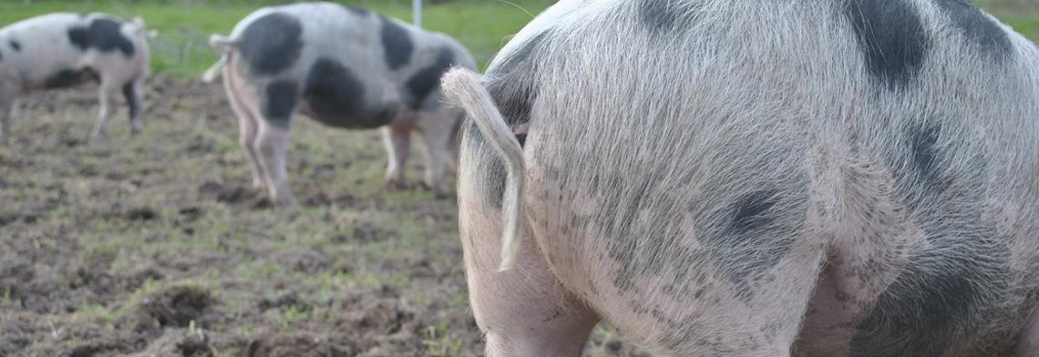 Schweine 2