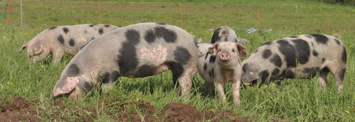 Schweine 3