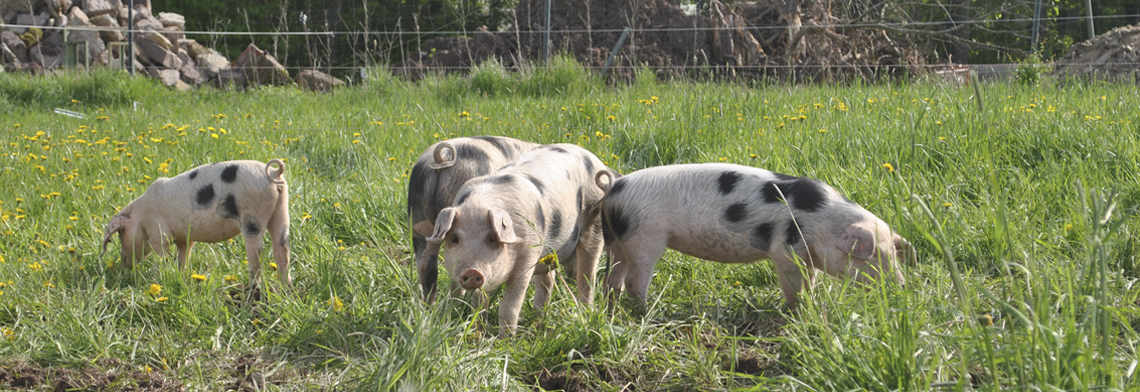Schweine 6