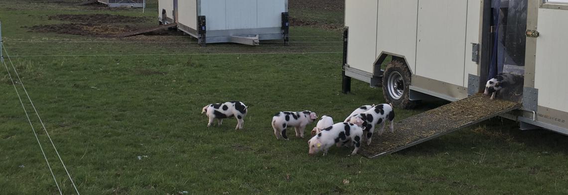 Schweine 9